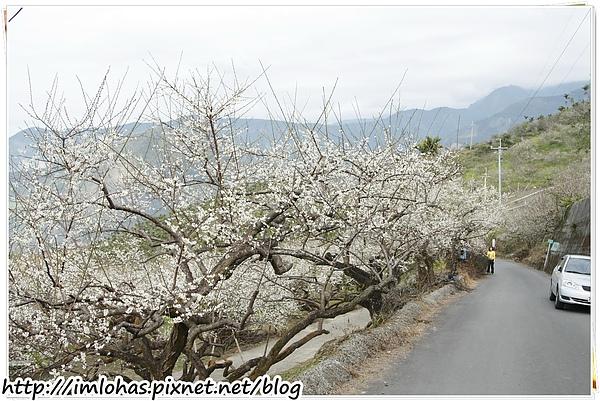 2011-01-09 信義鄉烏松崙賞梅花、梅子夢工場園區075.JPG