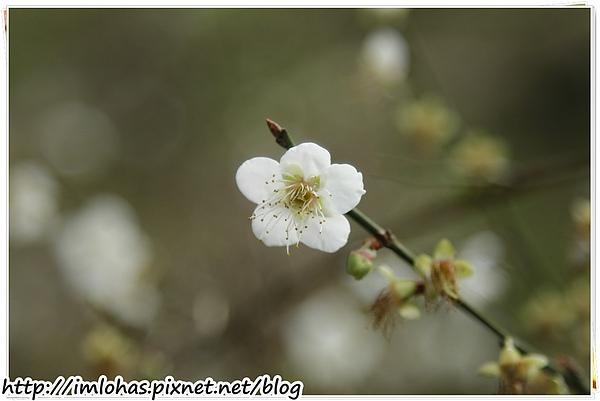 2011-01-09 信義鄉烏松崙賞梅花、梅子夢工場園區082.JPG