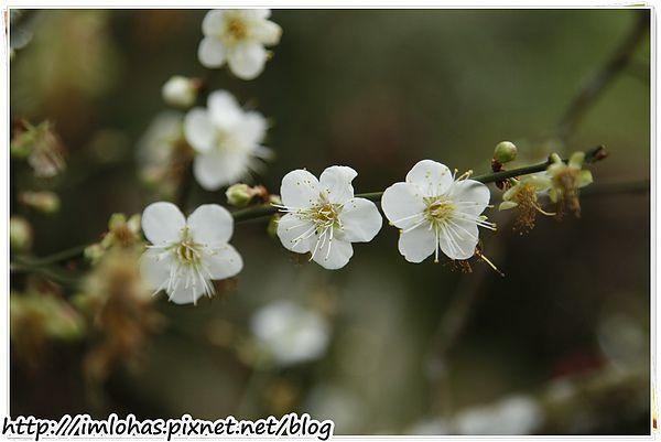 2011-01-09 信義鄉烏松崙賞梅花、梅子夢工場園區083.JPG
