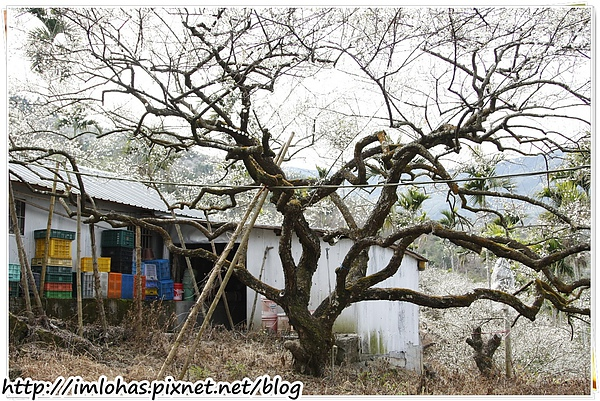 2011-01-09 信義鄉烏松崙賞梅花、梅子夢工場園區005.JPG
