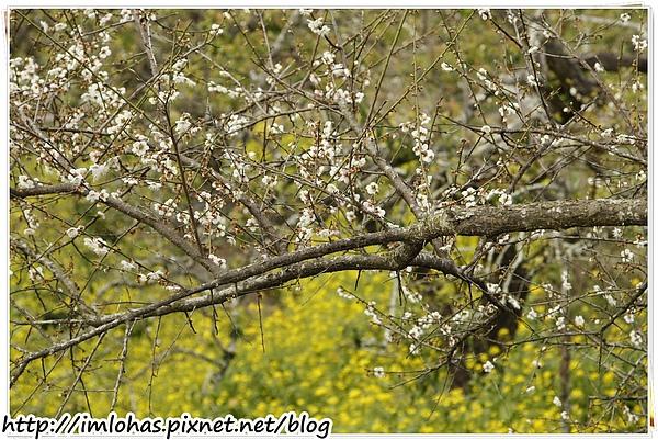2011-01-09 信義鄉烏松崙賞梅花、梅子夢工場園區065.JPG