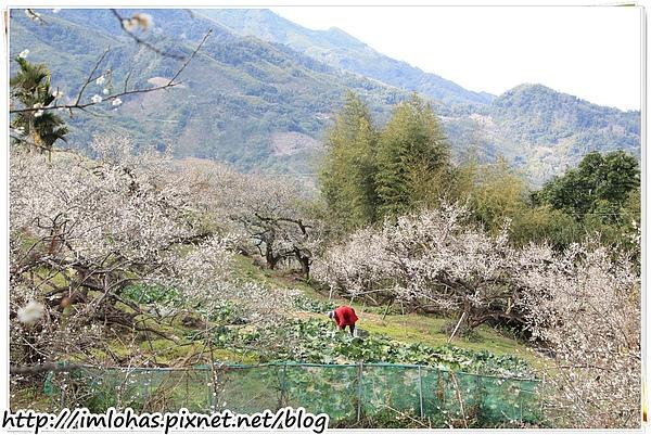 2011-01-09 信義鄉烏松崙賞梅花、梅子夢工場園區044.JPG