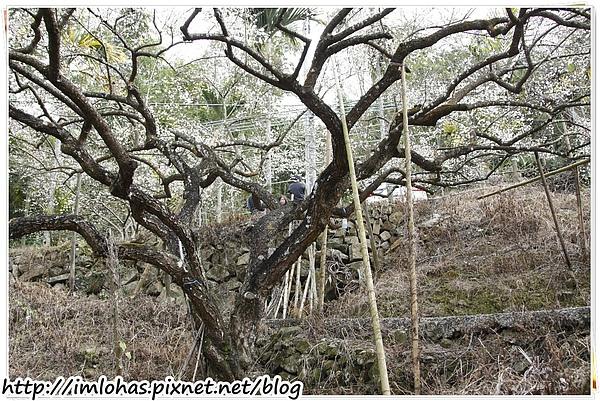2011-01-09 信義鄉烏松崙賞梅花、梅子夢工場園區006.JPG