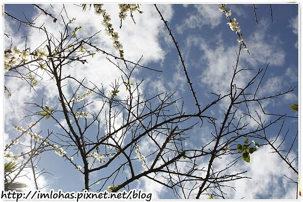 2011-01-09 信義鄉烏松崙賞梅花、梅子夢工場園區015.JPG