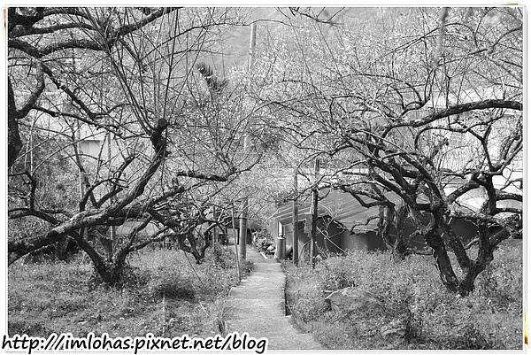 2011-01-09 信義鄉烏松崙賞梅花、梅子夢工場園區048.JPG