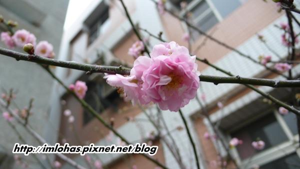 2011-02-18八重櫻第一次開花04.JPG