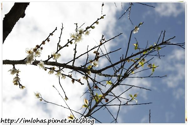 2011-01-09 信義鄉烏松崙賞梅花、梅子夢工場園區014.JPG