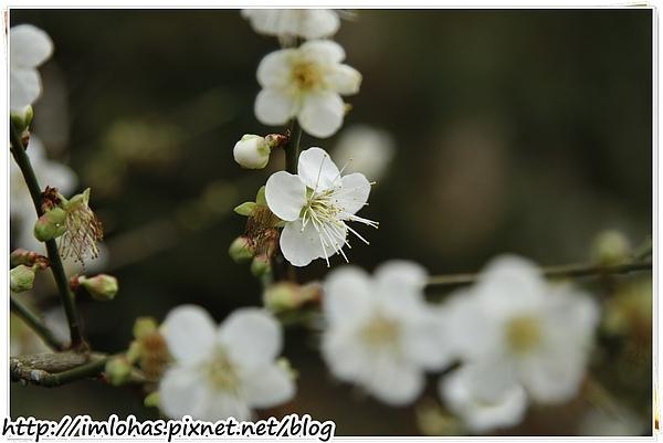 2011-01-09 信義鄉烏松崙賞梅花、梅子夢工場園區084.JPG