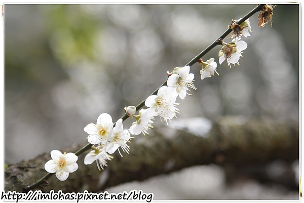 2011-01-09 信義鄉烏松崙賞梅花、梅子夢工場園區025.JPG