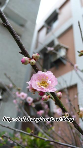 2011-02-18八重櫻第一次開花08.JPG