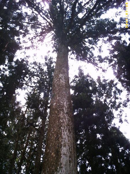 是松?是杉?是檜?