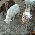 城堡裏可以餵小綿羊,可是右邊這位,你是山羊吧?