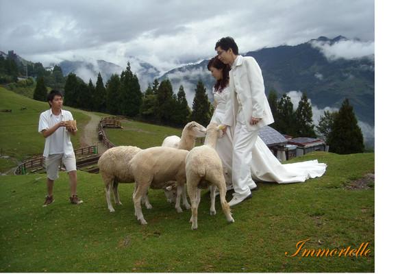 尊臀正對著鏡頭那隻羊,後來就一腳踩在新郎的白皮鞋上