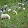 遊客們也沒放棄騷擾其他羊兒的機會