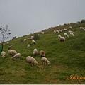 放牧區羊勢比人強,少惹為妙