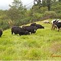 旁邊真的有放牧乳牛,樓上的羊兄請解釋一下你的身世!