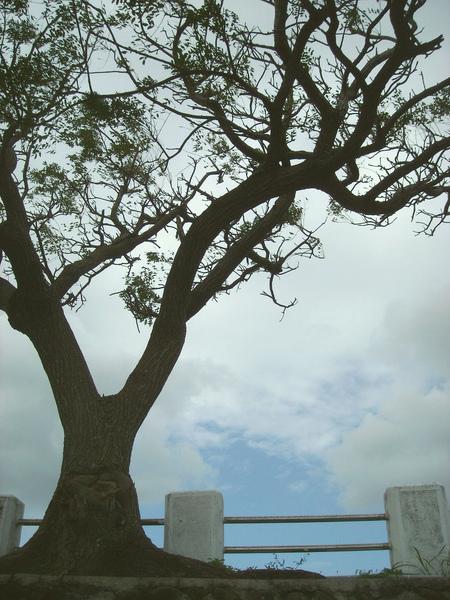 墾丁森林遊樂區,停車場邊一棵有韻味的樹