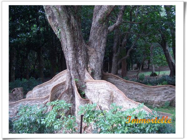 它叫銀葉板根,大板根是為了防止雨水沖刷泥土