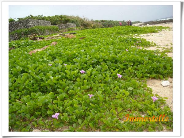 香蕉灣的砂岸植物