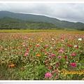 開滿波斯菊的美麗田野
