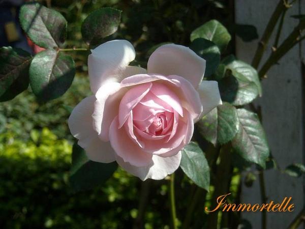 官邸玫瑰園