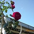 晴空下的玫瑰