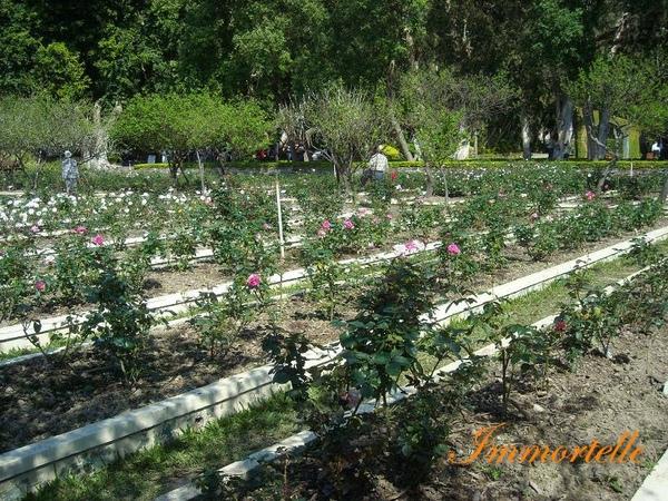 種類繁多的玫瑰