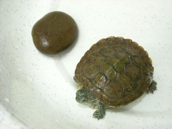 小龜2009-1