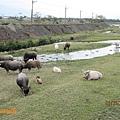河畔吃草的水牛