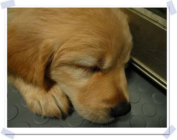 小狗睡覺都一定要這樣貼著什麼東西睡啊