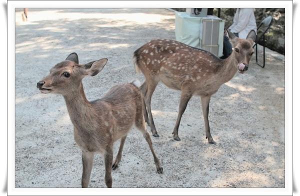 03奈良公園_鹿很聰明守著賣鹿餅的阿婆就可以吃到客人手上的鹿餅.jpg