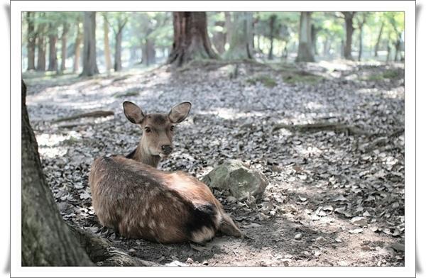 01奈良公園_鹿.jpg
