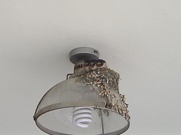 燈具上的燕子窩  有三隻小鳥