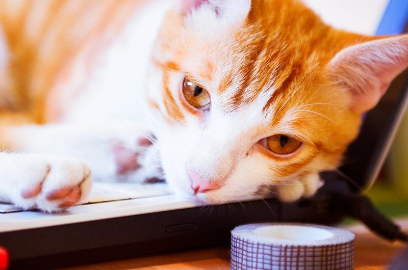 桃園 青鳥家咖啡 貓