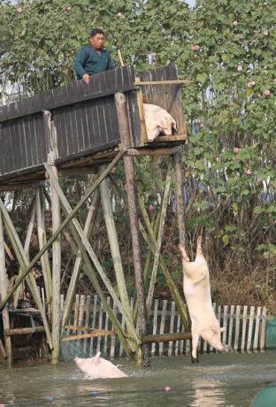 china pig