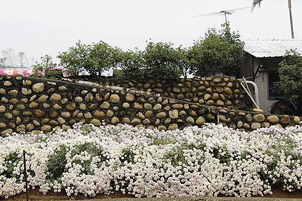 一面牆,搭配杭菊,我們也有普羅旺斯風景