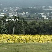 遍地黃金杭菊