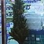 90.文具店內有點掉漆的聖誕樹,不過聖誕樹本身體格還不錯啦!只是裝飾品很弱……