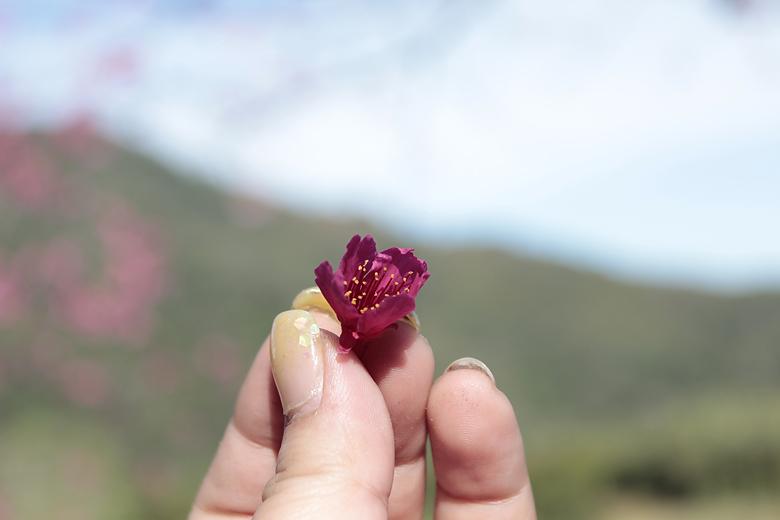 山櫻花好紅
