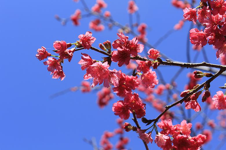sakura~hirahira