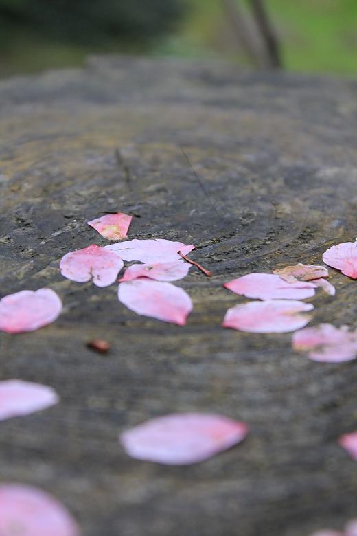 掉下的花瓣,這裡的櫻花就沒有掉整朵的