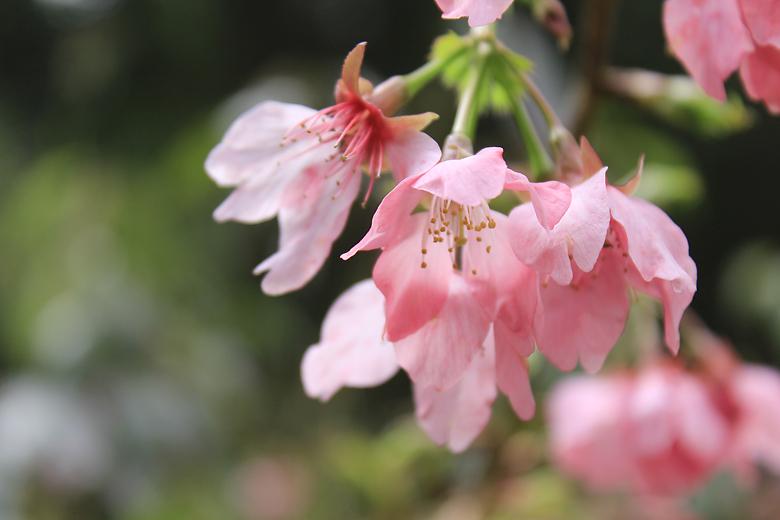 粉紅色的櫻花真美啊