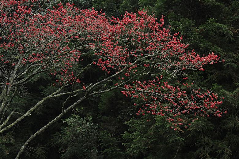 好紅的山櫻花