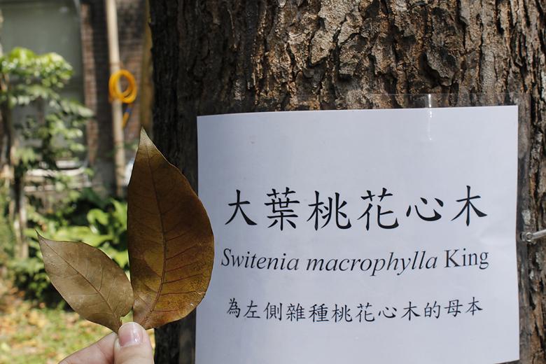 大葉桃花心木 Swietenia macrophylla King