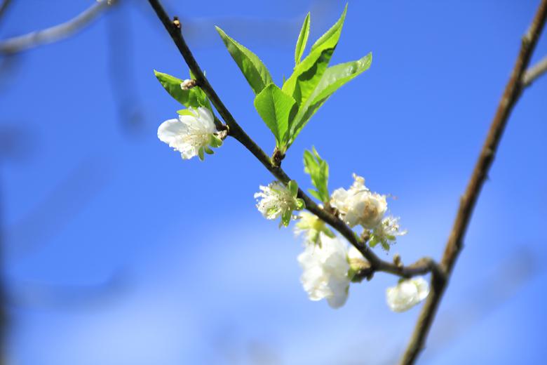 也是櫻花,白的