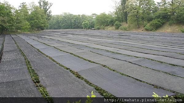 wasabi農場DSC04682.JPG