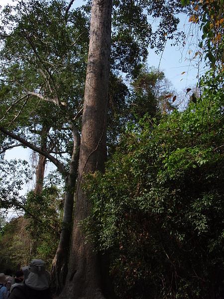 一個人才能環抱的樹是100歲