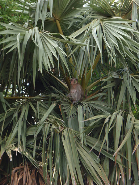 樹上的猴子
