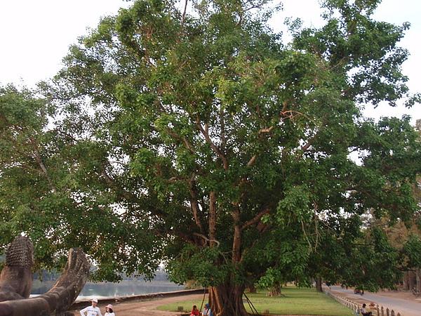 集合的菩提樹