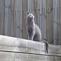 小灰貓驕傲的咧